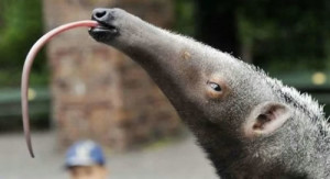 90_Awesome_Anteater_Tongue